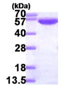 SDS-PAGE - Glucose 6 phosphate isomerase protein (His tag) (ab87625)