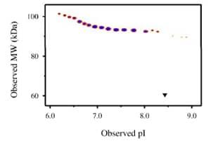 Functional Studies - IL3RA protein (Fc Chimera) (ab88358)
