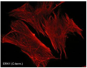 Immunocytochemistry/ Immunofluorescence - ERK1 antibody [M233] (ab88480)