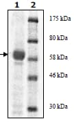 SDS-PAGE - JAK3 protein (Active) (ab89982)