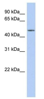 Western blot - WDR89 antibody (ab90330)