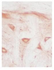 Immunohistochemistry (Frozen sections) - Heme oxygenase 2 antibody (ab90492)