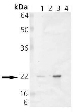 Western blot - Alpha B Crystallin antibody (ab90493)