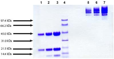 SDS-PAGE - Haptoglobin protein (Human) (ab90924)