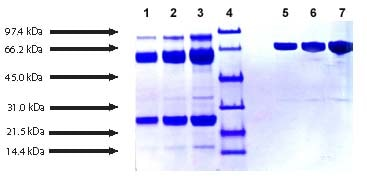 SDS-PAGE - Plasmin protein (Active) (ab90928)