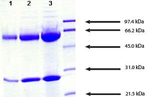 SDS-PAGE - IgA2 protein (ab91021)
