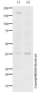 Western blot - Anti-FGF10 antibody (ab91024)