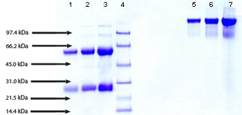 SDS-PAGE - IgA protein (Human) (ab91025)