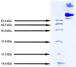 SDS-PAGE - LDL protein (Human) (ab91115)