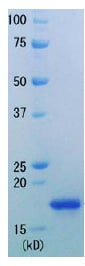 SDS-PAGE - RNase H protein (Active) (ab91360)