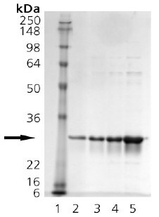SDS-PAGE - Hsp27 protein (Human) (ab91578)