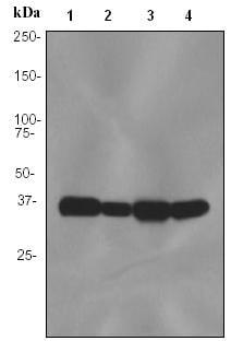 Western blot - HLF antibody [EPR3645] (ab91630)