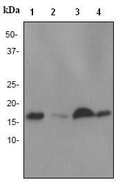 Western blot - NM23A antibody [EPR3036] (ab92327)