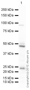 Western blot - Anti-Caspase 5 antibody (ab92354)