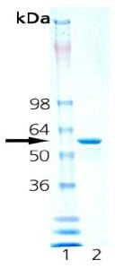 SDS-PAGE - Hsp60 protein (Active) (ab92364)