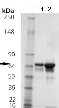 SDS-PAGE - Hsp70 protein (Active) (ab92415)