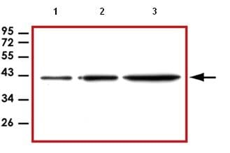 Western blot - beta Actin antibody [BA3R] (ab92436)