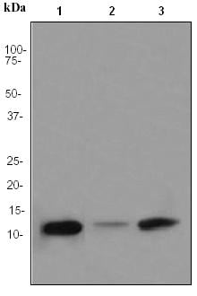 Western blot - FKBP12 antibody [EPR3888] (ab92459)