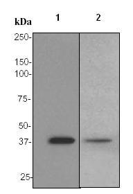 Western blot - PON1 antibody [EPR2892] (ab92466)