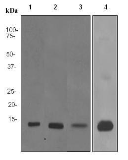 Western blot - S100A9 antibody [EPR3555] (ab92507)