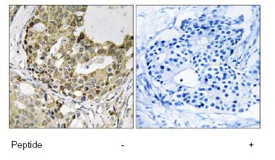 Immunohistochemistry (Formalin/PFA-fixed paraffin-embedded sections) - Anti-NXPH1 antibody (ab92692)