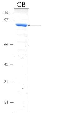 SDS-PAGE - Osteopontin protein (MBP) (ab92964)