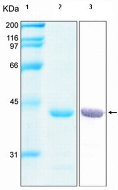 SDS-PAGE - Annexin A1 protein (Tagged-His Tag) (ab92966)