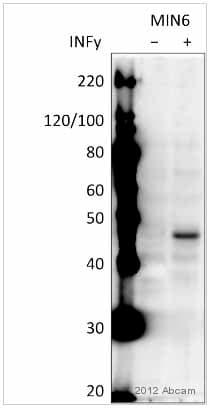 Western blot - Anti-MHC Class I H2 Kb antibody (ab93364)