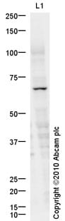 Western blot - Anti-KIRREL2 antibody (ab93451)