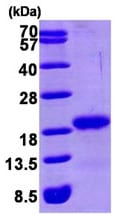 SDS-PAGE - GABARAP protein (His tag) (ab93455)