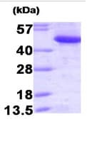SDS-PAGE - CtBP1 protein (Human) (ab93729)