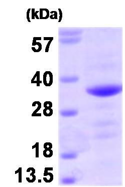 SDS-PAGE - Bag1 protein (Human) (ab93929)