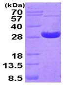 SDS-PAGE - Peroxiredoxin 4 protein (His tag) (ab93947)