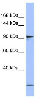 Western blot - PSMD1 antibody (ab94624)