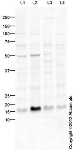 Western blot - Anti-Histone H3.3 antibody (ab94817)