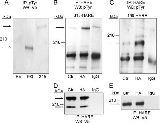 Western blot - Anti-V5 tag antibody (ab95038)