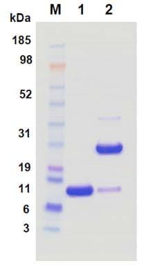 SDS-PAGE - Anti-EGFR Affibody® Molecule (ab95116)