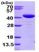 SDS-PAGE - TXNL2 protein (His tag) (ab95263)