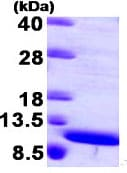 SDS-PAGE - MRP8 protein (Human) (ab95343)