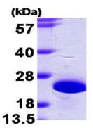 SDS-PAGE - NCS1 protein (His tag) (ab95349)