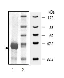 SDS-PAGE - Cofilin protein (Active) (ab95396)
