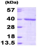SDS-PAGE - FKBP6 protein (His tag) (ab95497)