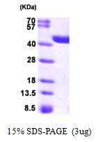 SDS-PAGE - CRYZL1 protein (His tag) (ab95503)