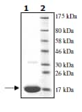 SDS-PAGE - Ube2N protein (His tag) (ab95900)