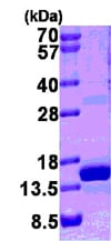 SDS-PAGE - S100A9 protein (His tag) (ab95909)