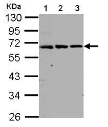 Western blot - FGFRL1 antibody (ab95940)