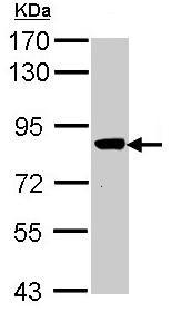 Western blot - VPS16 antibody (ab96033)
