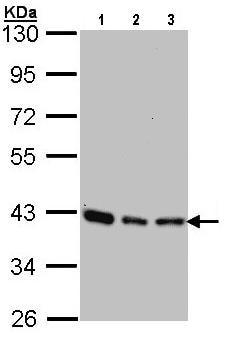 Western blot - SEC13L1 antibody (ab96044)