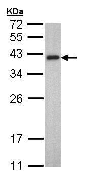Western blot - Tropomyosin 2 antibody (ab96073)