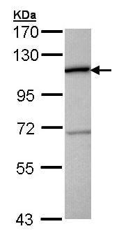 Western blot - CTBP2 antibody (ab96107)